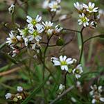 Vårgæslingeblomst